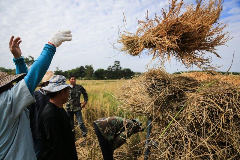 BUENG KAN, TAILÂNDIA - 8 DE DEZEMBRO: Colheita tradicional do arroz de Tailândia imagem de stock royalty free