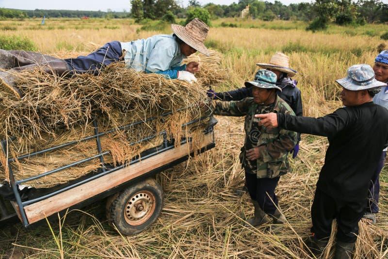 BUENG KAN, TAILÂNDIA - 8 DE DEZEMBRO: Colheita tradicional do arroz de Tailândia fotografia de stock