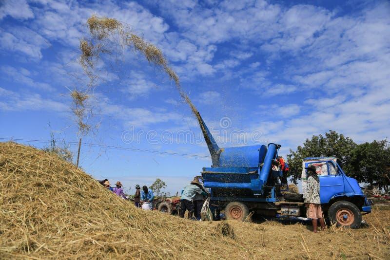 BUENG KAN, TAILÂNDIA - 8 DE DEZEMBRO: Colheita tradicional do arroz de Tailândia fotos de stock