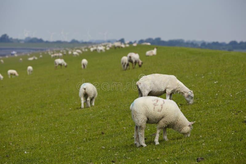Buesum - Dijk met sheeps royalty-vrije stock afbeelding