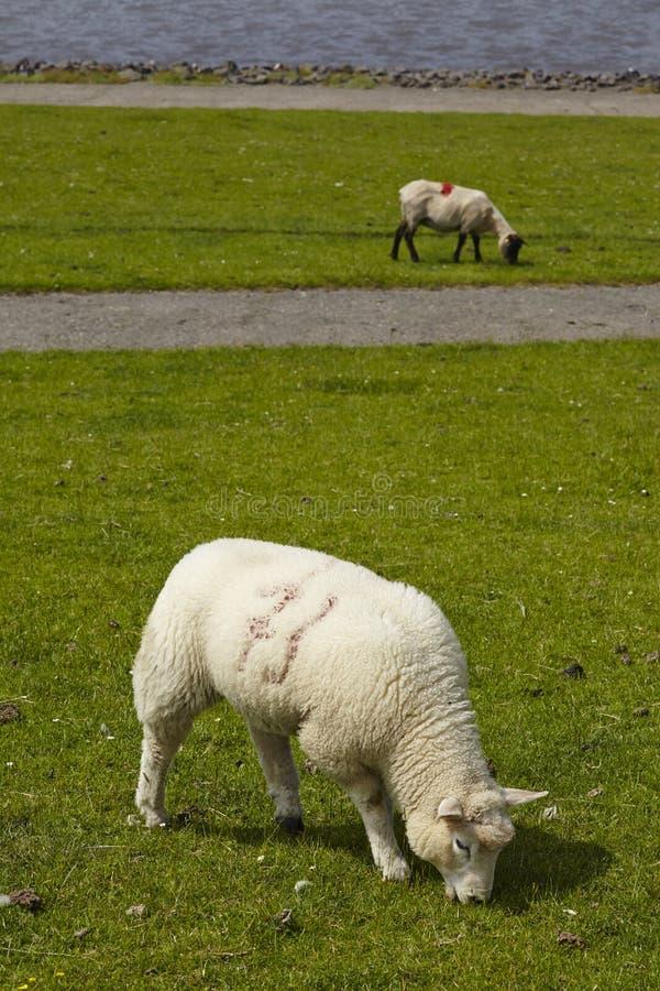 Buesum - Dijk met sheeps stock foto's