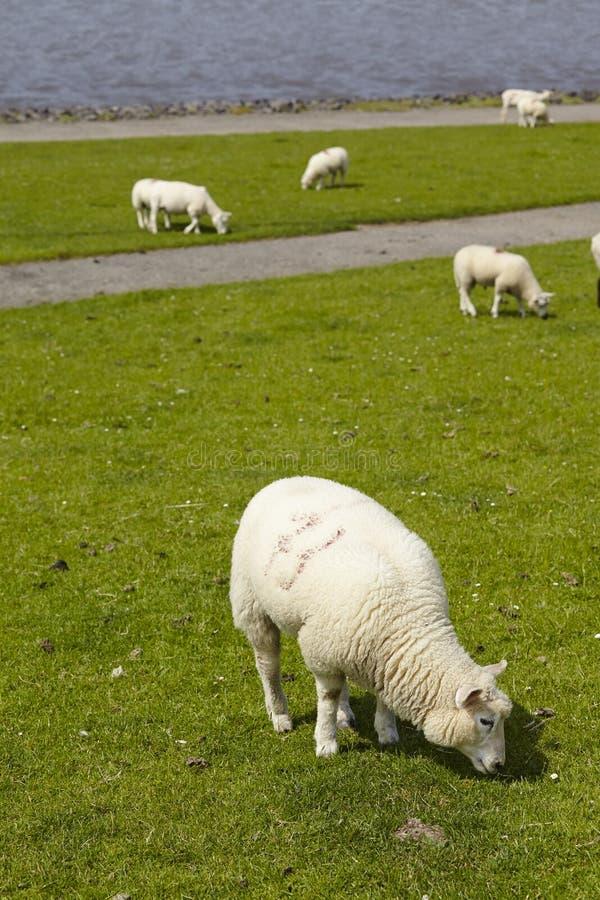 Buesum - Dijk met sheeps stock afbeeldingen