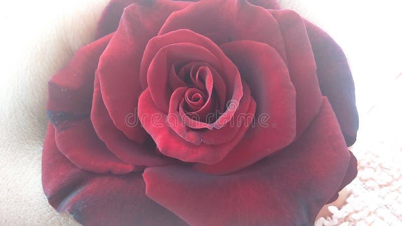 Buetiful red rose stock image