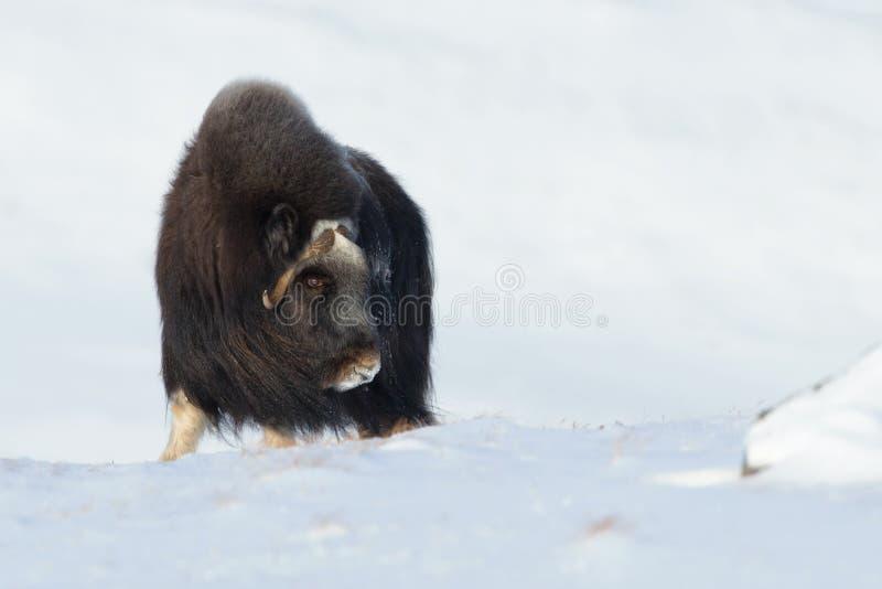 Buey de almizcle en invierno fotos de archivo