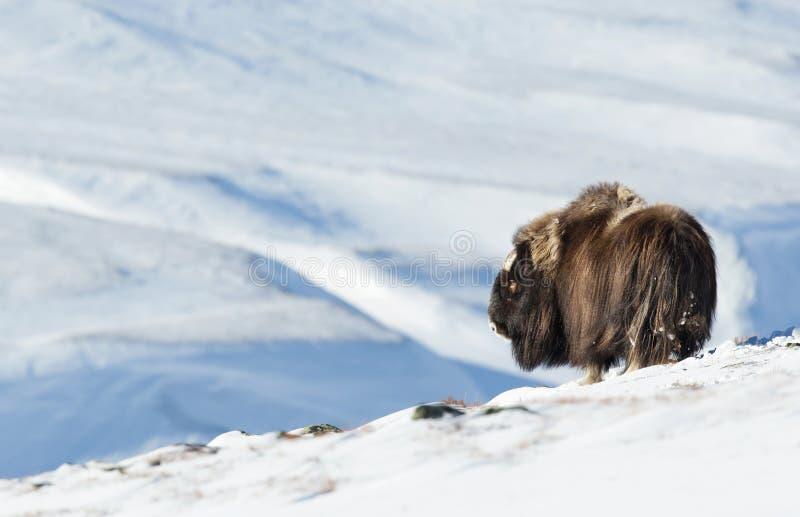 Buey de almizcle en invierno, Noruega foto de archivo