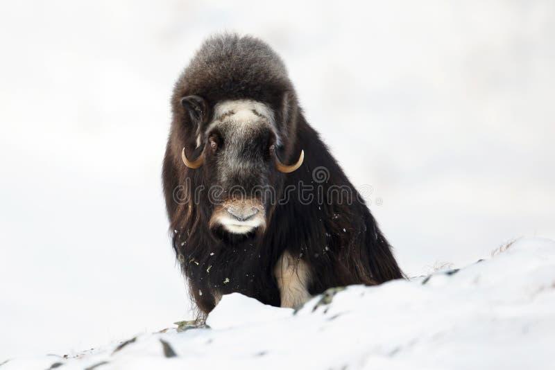 Buey de almizcle en las montañas durante invierno imagenes de archivo