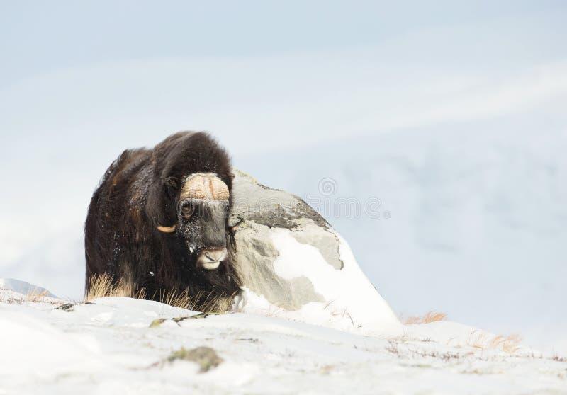 Buey de almizcle masculino que se coloca en las montañas de Dovrefjell en invierno foto de archivo
