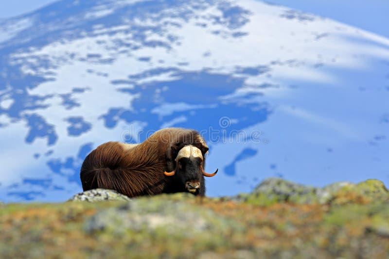 Buey de almizcle, moschatus del Ovibos, con la montaña y la nieve en el fondo, animal grande en el hábitat de la naturaleza, Noru foto de archivo