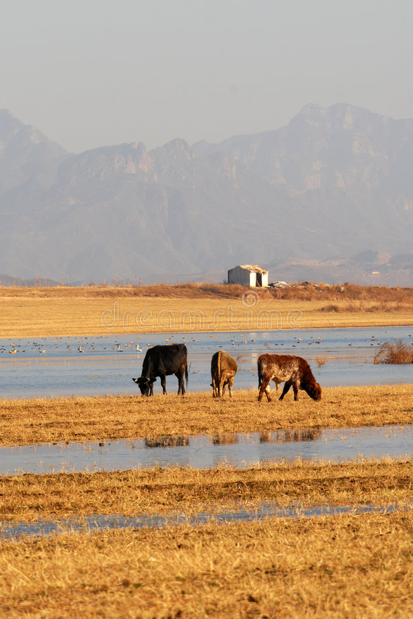 Download Buey Que Introduce En El Borde Del Lago Foto de archivo - Imagen de farmland, manada: 7285160