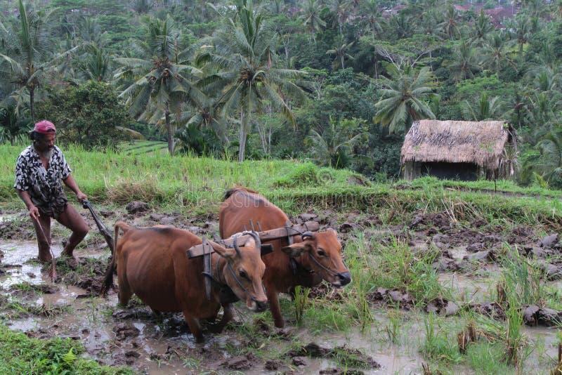 Bueyes en los campos del arroz fotografía de archivo