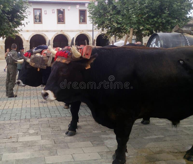 Bueyes. Grupo de animales en el pueblo de Dulantzi en Araba royalty free stock photography