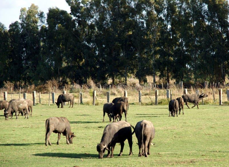 Bufale lantgård royaltyfria bilder
