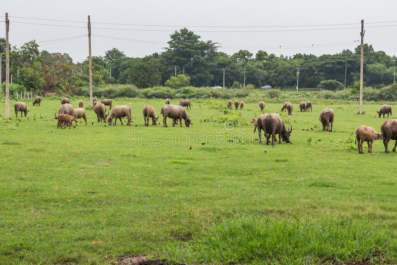 Bufali asiatici fotografia stock libera da diritti
