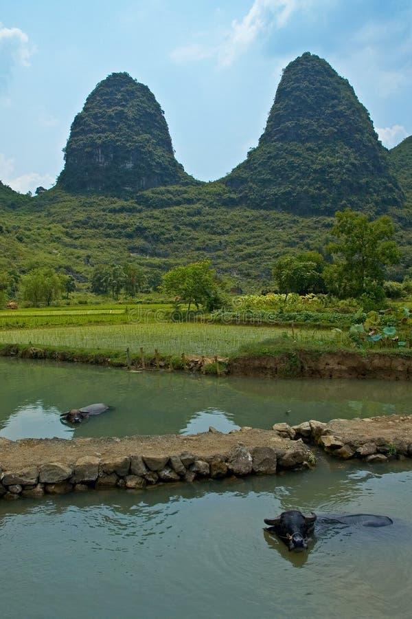 Download Bufali di acqua immagine stock. Immagine di picco, riso - 207245
