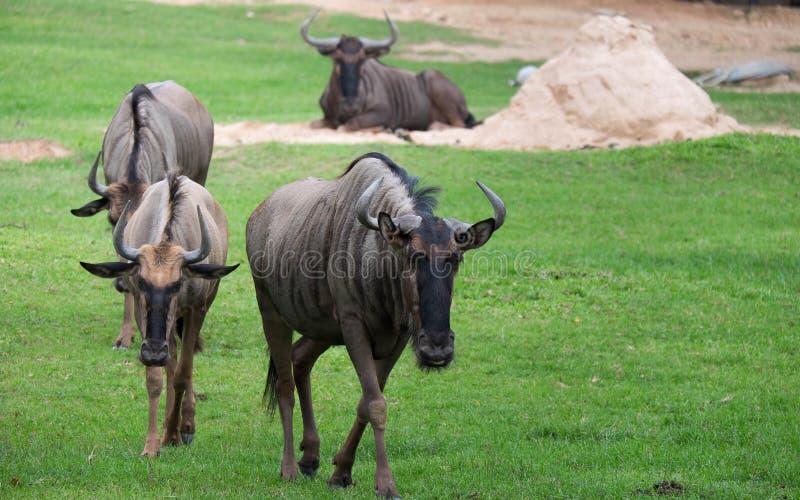 Bufali selvaggi fotografia stock