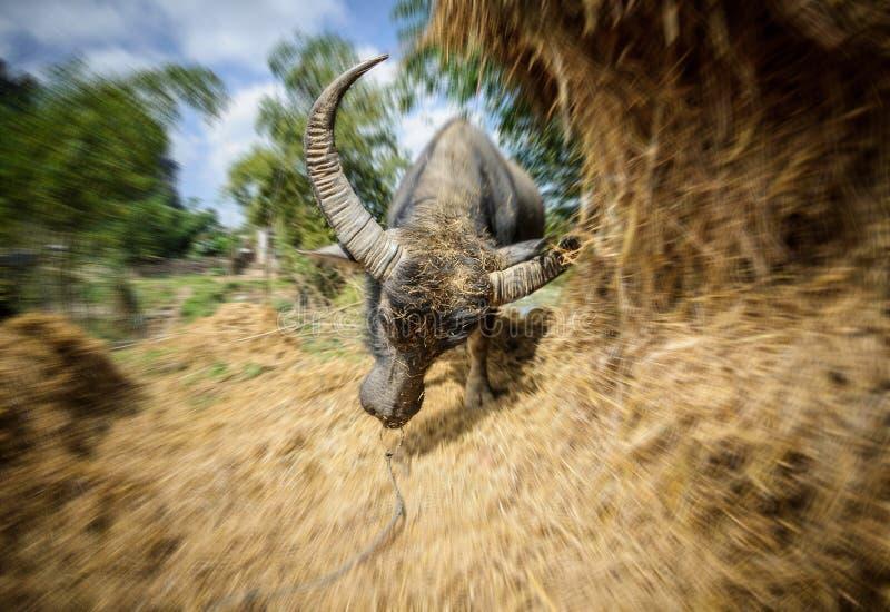 Bufalo arrabbiato fotografia stock