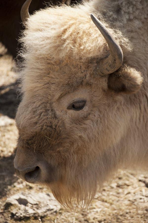Bufalo bianco fotografia stock