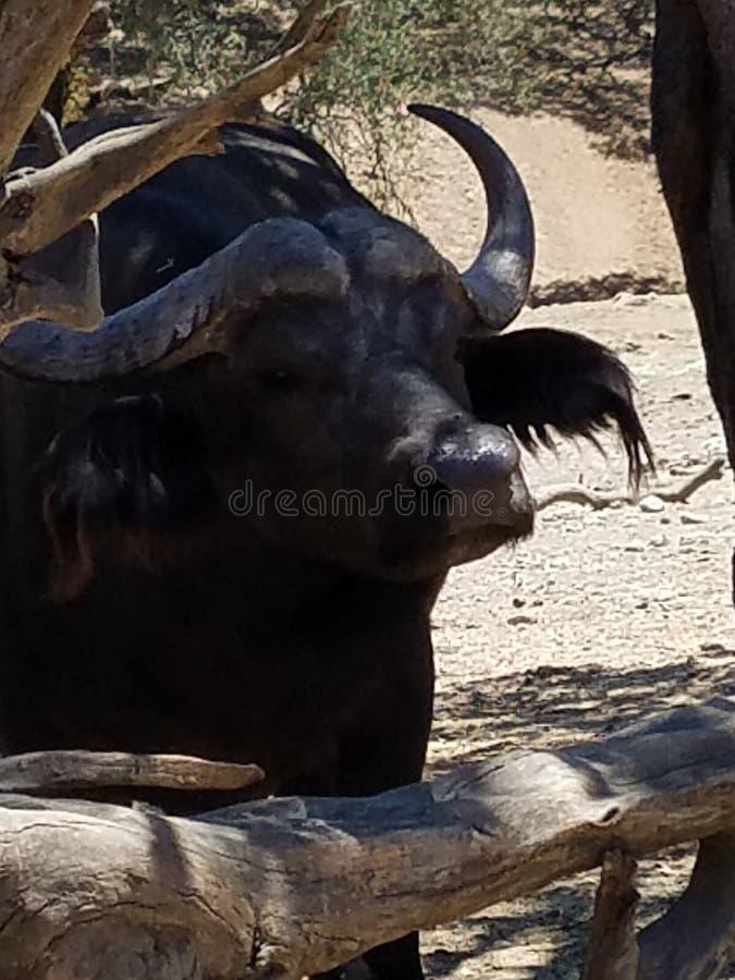 Bufalo d'acqua immagini stock libere da diritti