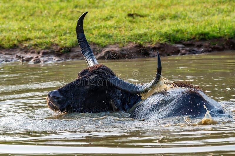Bufalo d'acqua o bubbalis asiatici di Bubbalus fotografia stock libera da diritti