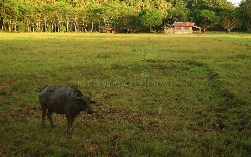 Bufalo d'acqua sull'azienda agricola fotografie stock