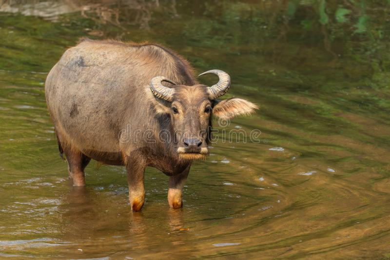 Bufalo d'acqua tailandese che riposa in un ruscello durante l'estate fotografia stock libera da diritti