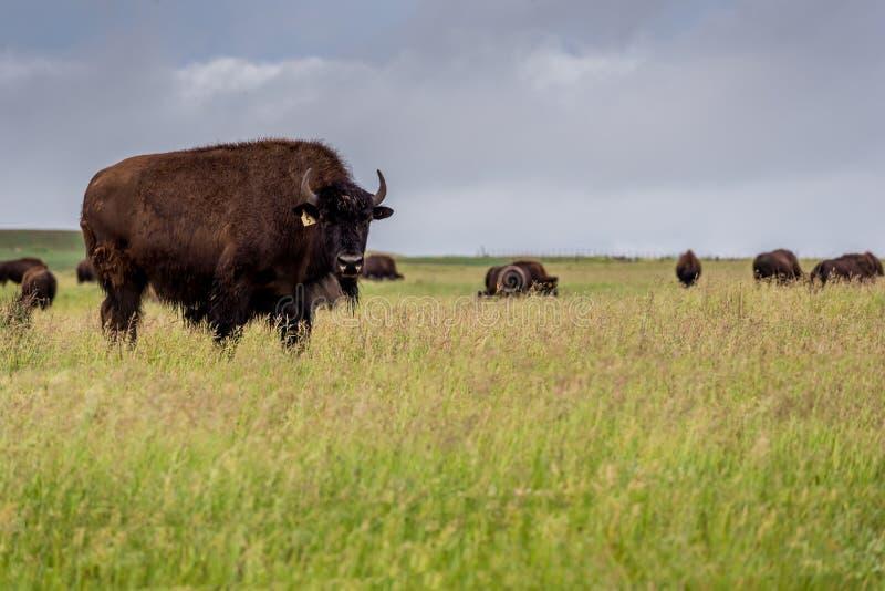 Bufalo del bisonte delle pianure che pasce nel pascolo in Saskatchewan, Canada immagini stock libere da diritti