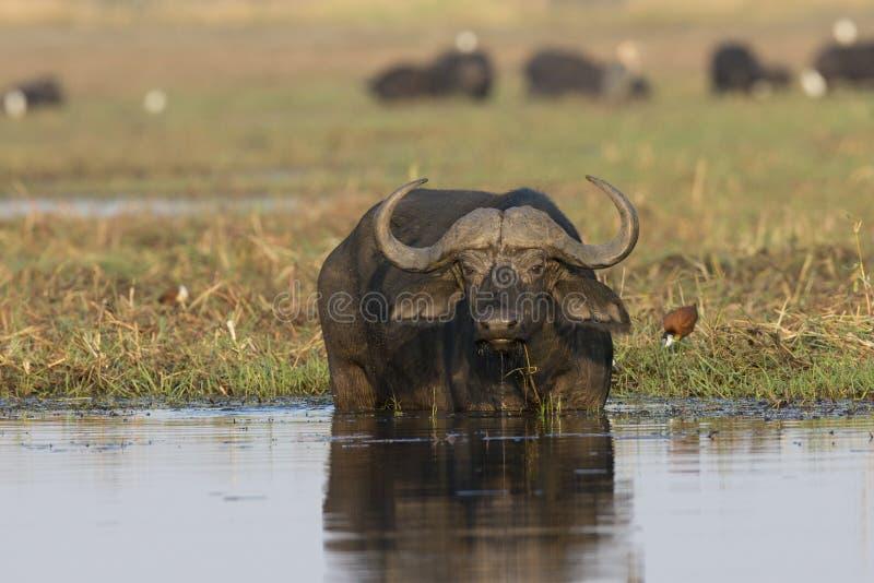 Bufalo del capo che mangia nel fiume immagini stock libere da diritti