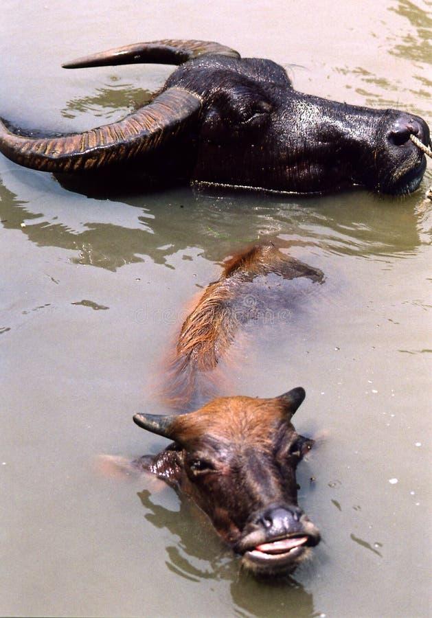 Bufalo di acqua immagini stock libere da diritti