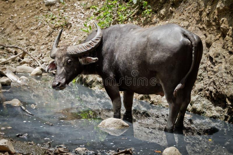 Bufalo di acqua immagini stock