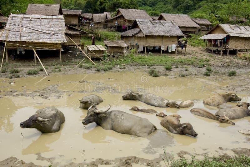 Bufalo di acqua davanti al villaggio di Hmong, Laos fotografie stock libere da diritti