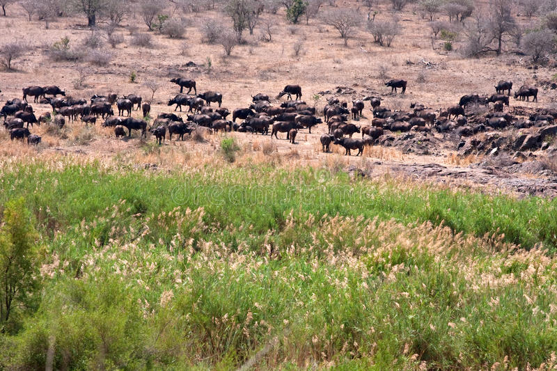 Bufalo di capo africano immagine stock