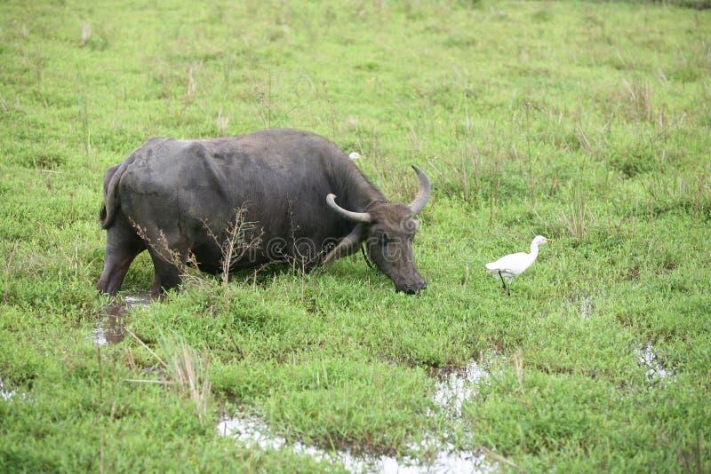 Bufalo ed egret di acqua fotografie stock libere da diritti