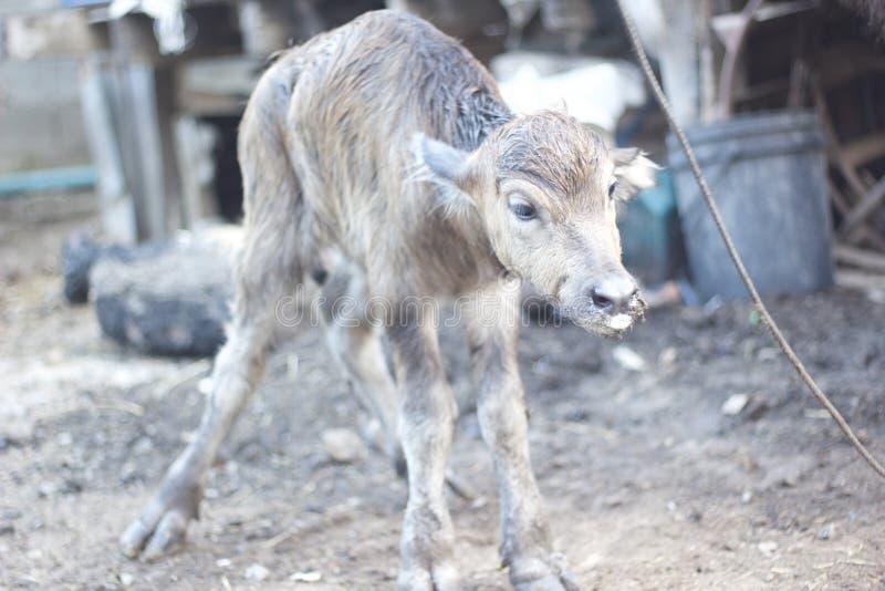 Bufalo neonato fotografia stock libera da diritti