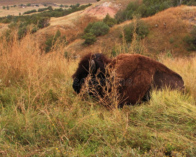 Bufalo som vilar vid vägen royaltyfri fotografi