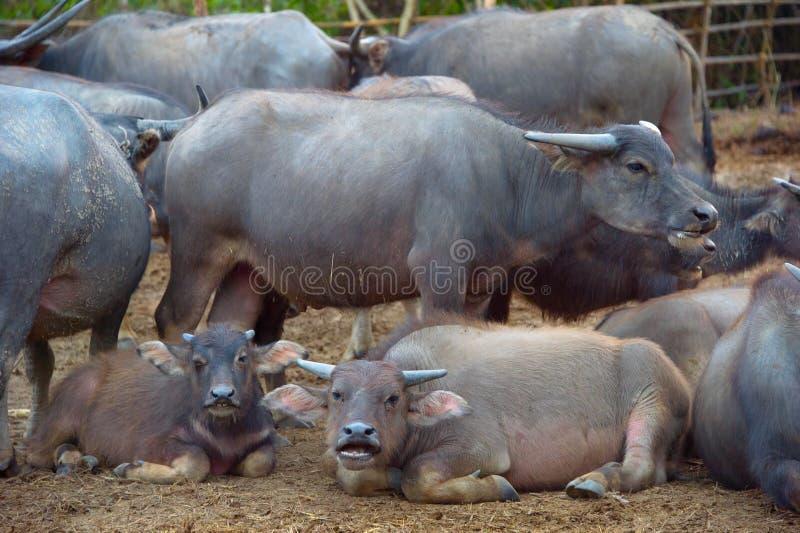 Bufalo tailandese fotografia stock libera da diritti