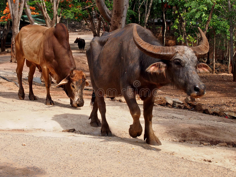 Bufalo tailandese in Tailandia immagini stock