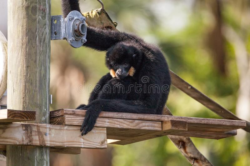 Buff-cheeked gibbon Nomascus gabriellae. Sits on a dock and relaxes stock image