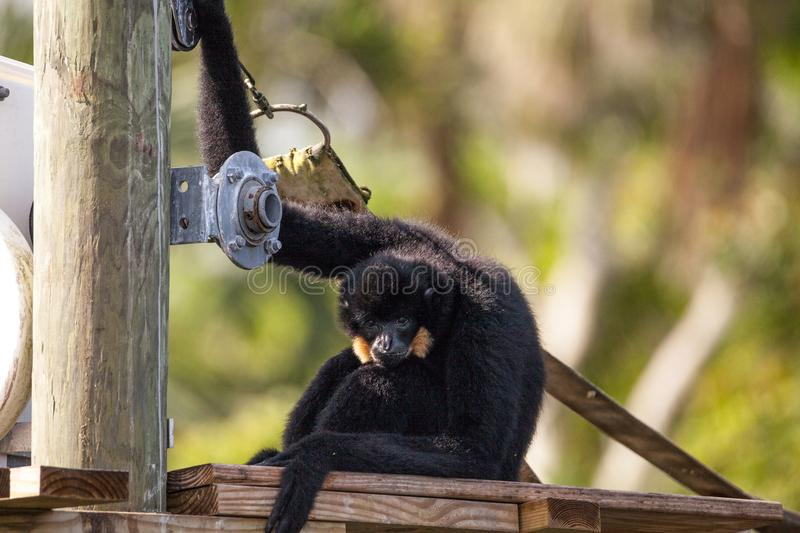 Buff-cheeked gibbon Nomascus gabriellae. Sits on a dock and relaxes stock photo