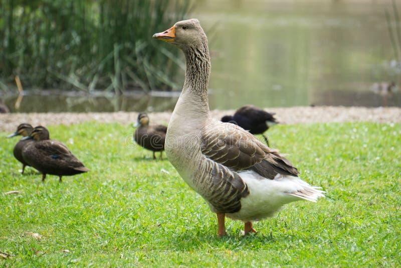 Buff Goose Americana com Patos imagens de stock