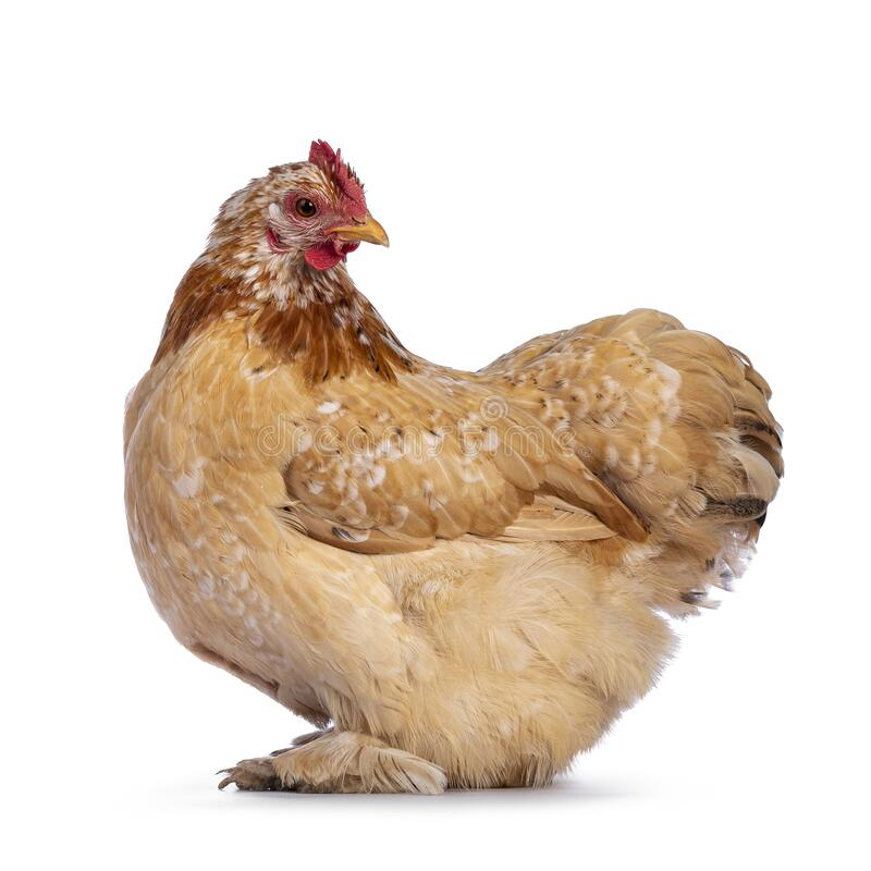 Free Buff Mille Fleur Cochin Bantam Chicken On White Royalty Free Stock Image - 219415166