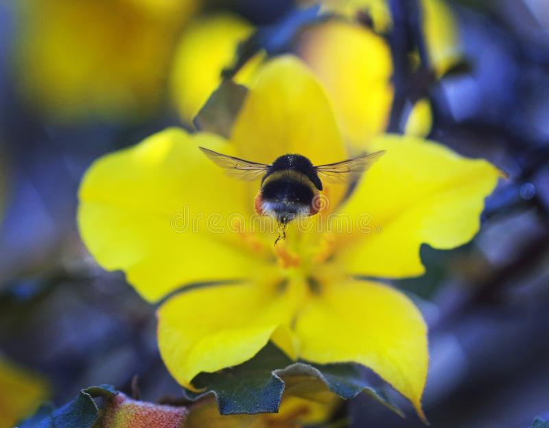 Buff Tailed Bee in flight, with a vibrant yellow californian Glory in the background royalty free stock images