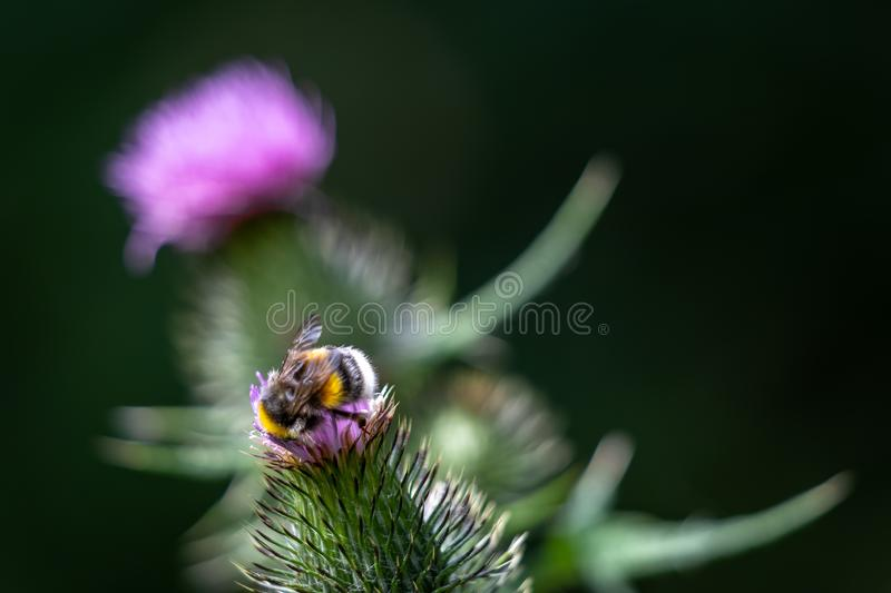 Buff-tailed bumblebee Bombus terrestris gathering pollen from a Thistle. In Wiltshire stock images