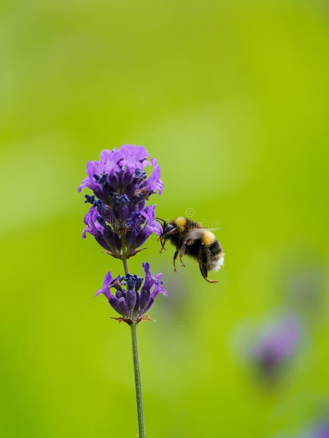 Buff-tailed bumblebee (Bombus terrestris), taken in the UK. Bees, honey, apidae, insects, nature, united, kingdom, animal, animals, arthropod, bug stock photos