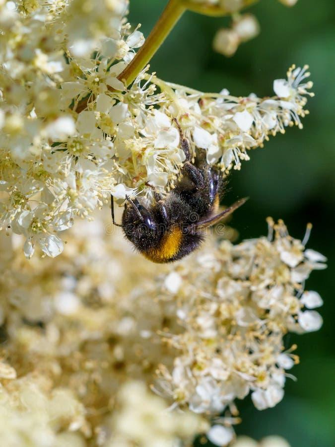 Buff-tailed bumblebee (Bombus terrestris), taken in the UK. Bees, honey, apidae, insects, nature, united, kingdom, animal, animals, arthropod, bug royalty free stock image