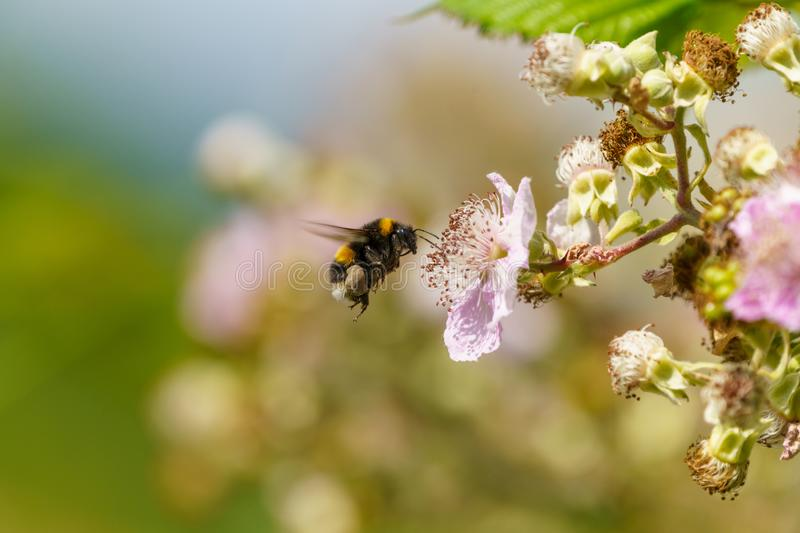 Buff-tailed bumblebee (Bombus terrestris), taken in the UK. Bees, honey, apidae, insects, nature, united, kingdom, animal, animals, arthropod, bug royalty free stock images