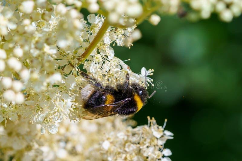 Buff-tailed bumblebee (Bombus terrestris), taken in the UK. Bees, honey, apidae, insects, nature, united, kingdom, animal, animals, arthropod, bug royalty free stock photos
