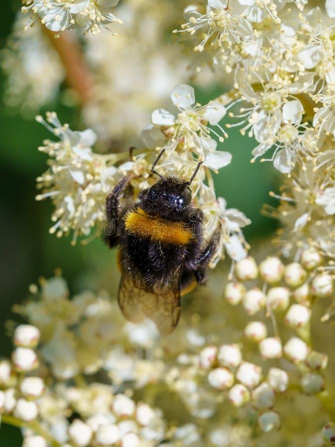 Buff-tailed bumblebee (Bombus terrestris), taken in the UK. Bees, honey, apidae, insects, nature, united, kingdom, animal, animals, arthropod, bug stock image