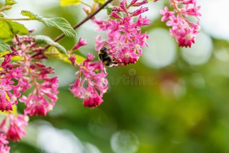 Buff-tailed bumblebee (Bombus terrestris), taken in the UK. Bees, honey, apidae, insects, nature, united, kingdom, animal, animals, arthropod, bug stock photography