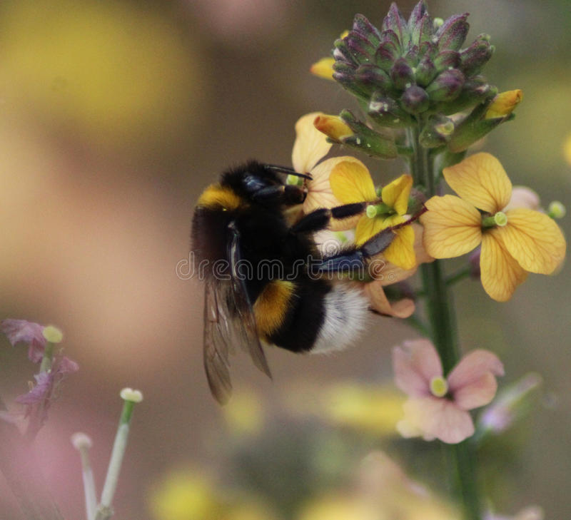 buff tailed bumblebee on yellow flower stock image