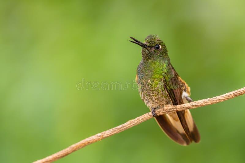 Buff-tailed Coronet - Boissonneaua flavescens stock photos